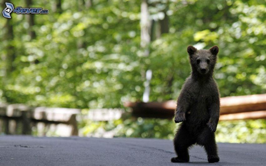 medveď, mláďa