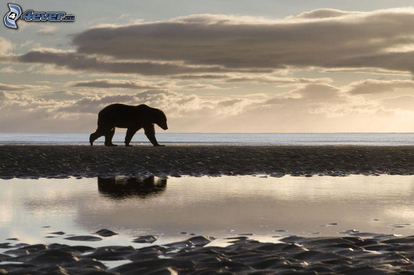 medveď, silueta, more, večer, oblaky