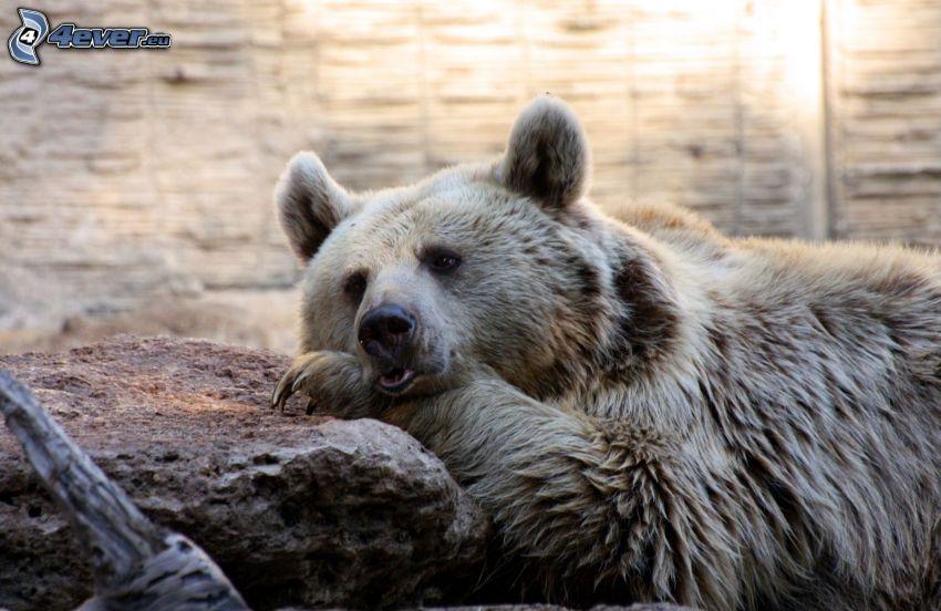 medveď grizly, kameň