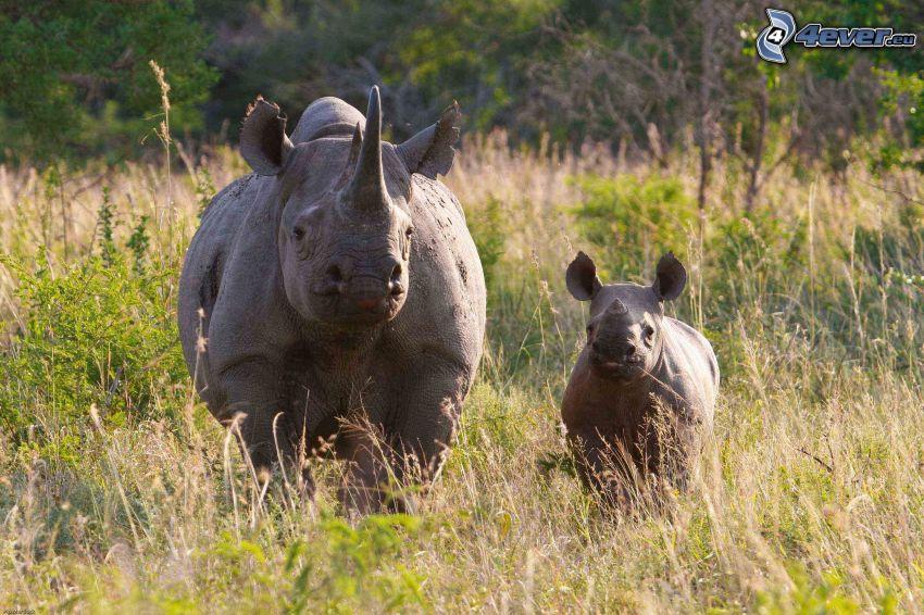 nosorožce, mláďa nosorožca, vysoká tráva