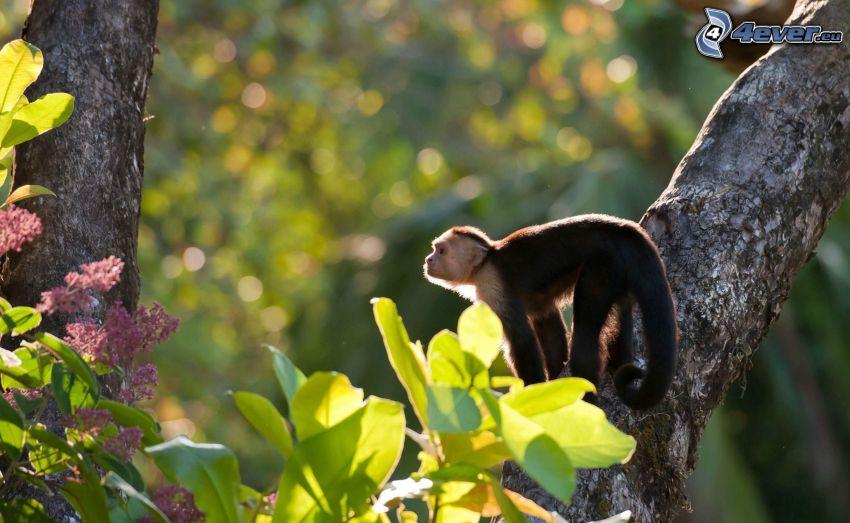 opička, strom
