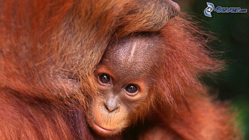 orangutány, mláďa