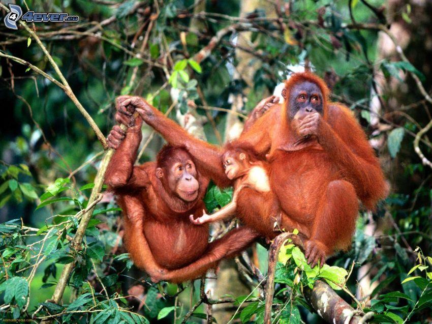 orangutány, rodina, stromy
