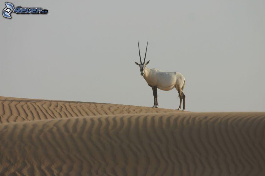 oryx, púšť