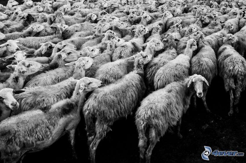 ovce, stádo zvierat, čiernobiela fotka