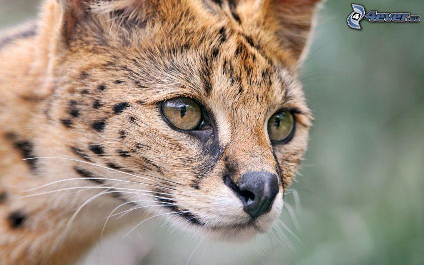 Serval, oči
