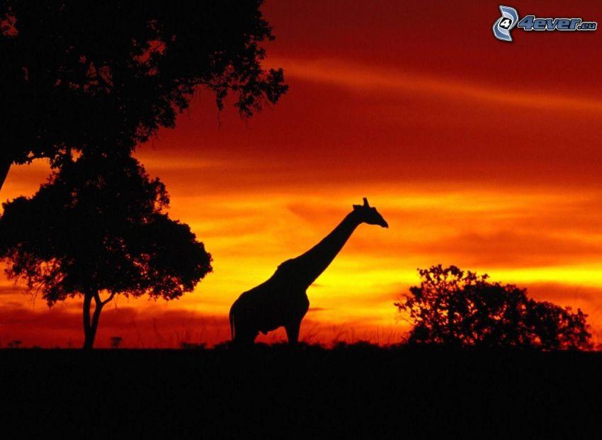 silueta žirafy, siluety stromov, po západe slnka, oranžová obloha