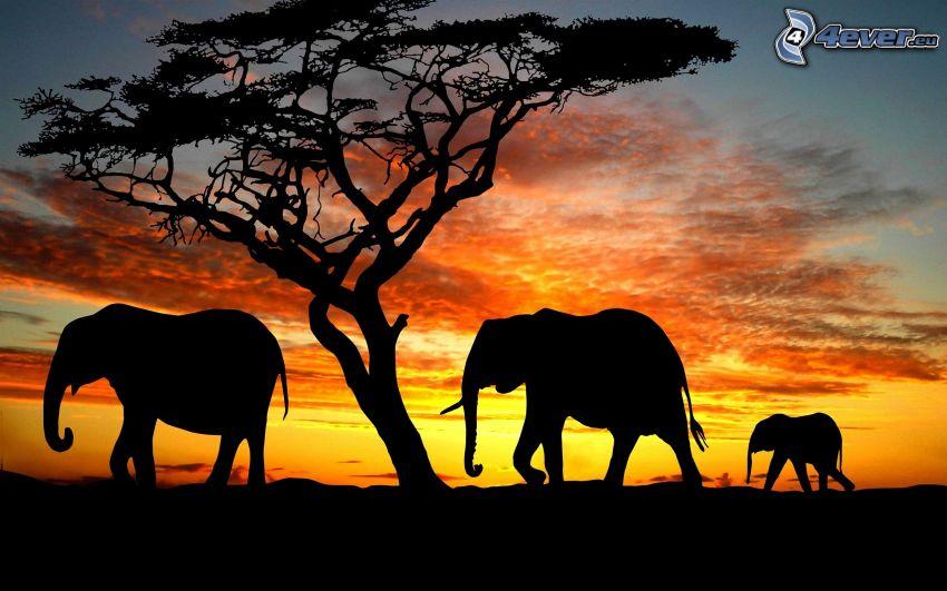 siluety slonov, silueta stromu, západ slnka na savane