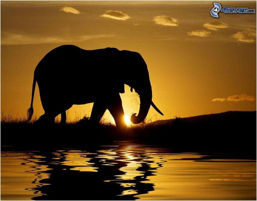 siluety slonov, slon, západ slnka, voda