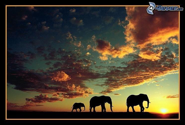 siluety slonov, západ slnka na savane, Afrika, oblaky