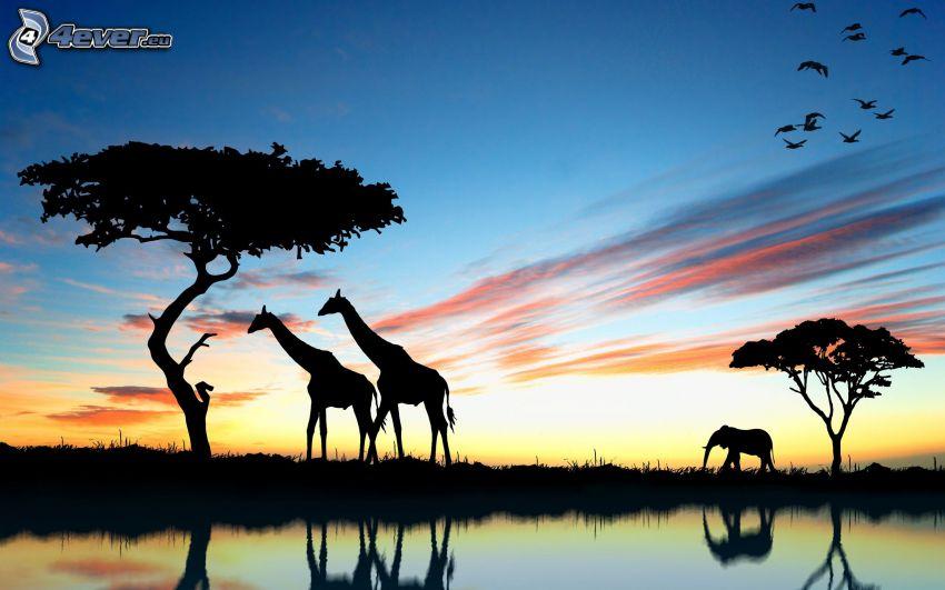siluety žiráf, siluety slonov, siluety stromov, odraz