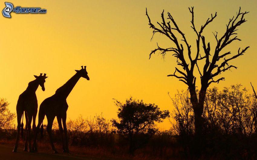 siluety žiráf, siluety stromov, žltá obloha