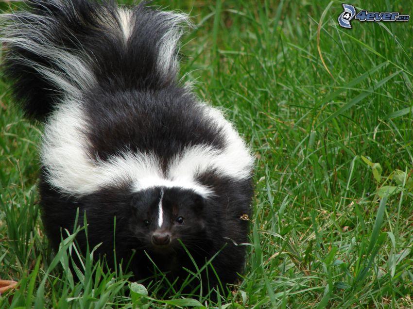skunk, tráva