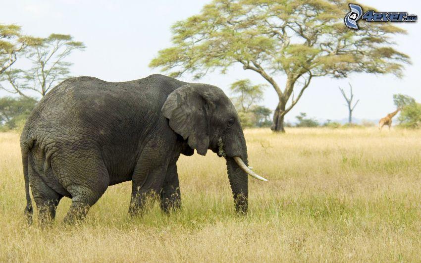 slon, safari