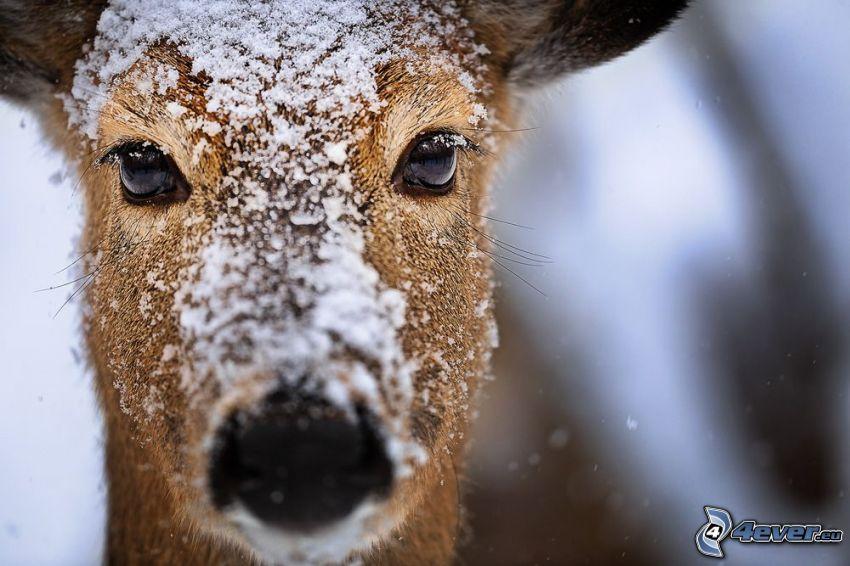 srnka, sneh