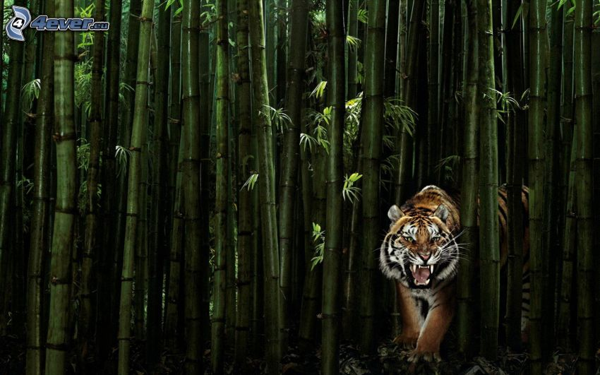 tiger, bambusový les