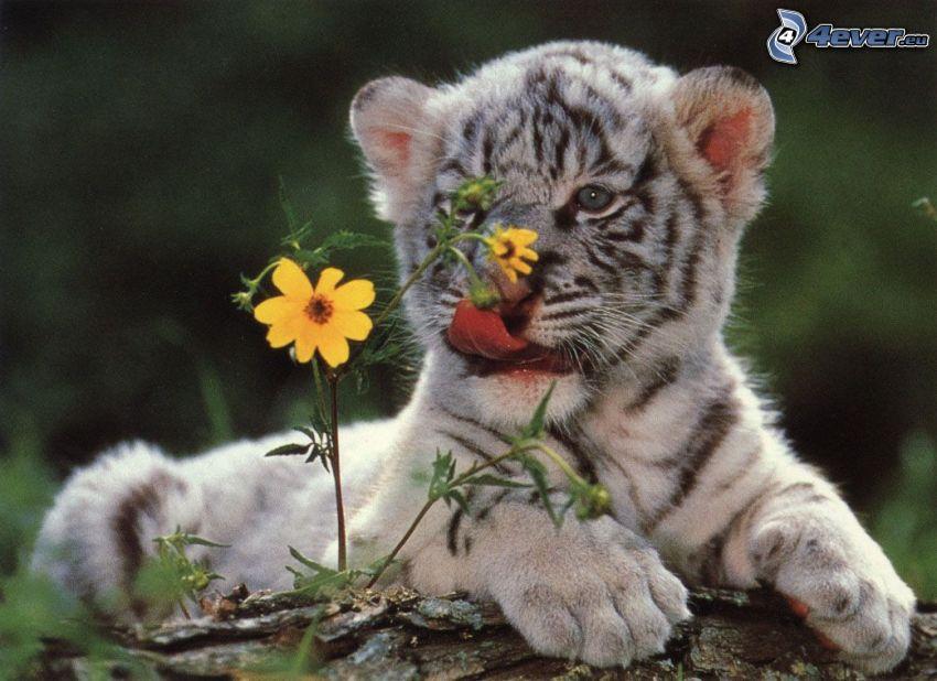 tiger, kvet