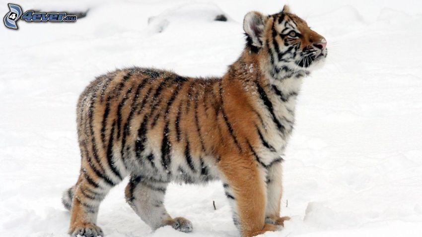 tiger, mláďa, sneh