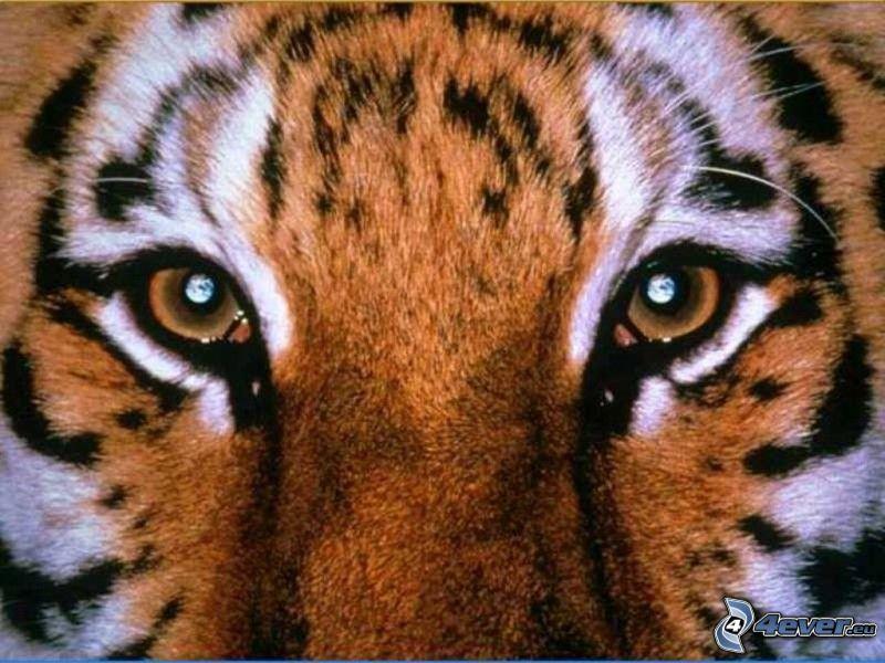 tiger, oči, zvieratá
