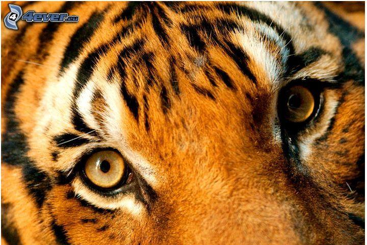 tiger, oči