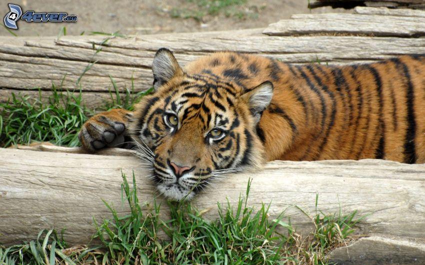 tiger, oddych, drevo
