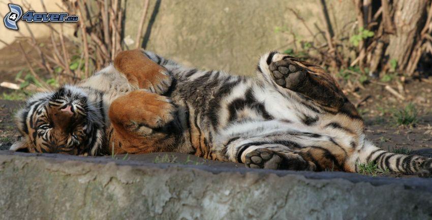 tiger, oddych