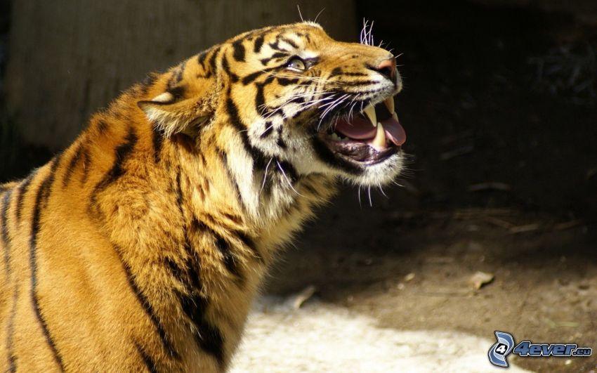 tiger, rev
