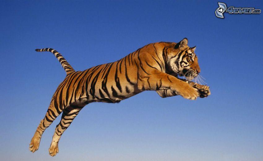 tiger, skok, modrá obloha