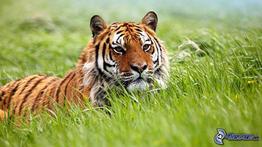 tiger, tráva