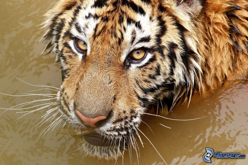 tiger, voda
