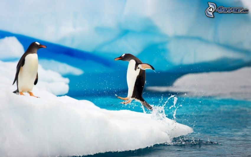 tučniaky, ľadové kryhy