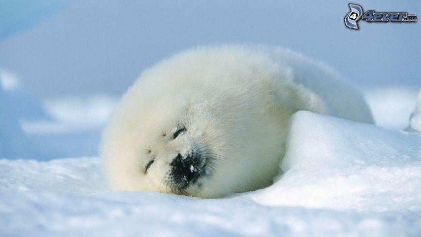 tuleň, sneh, spánok