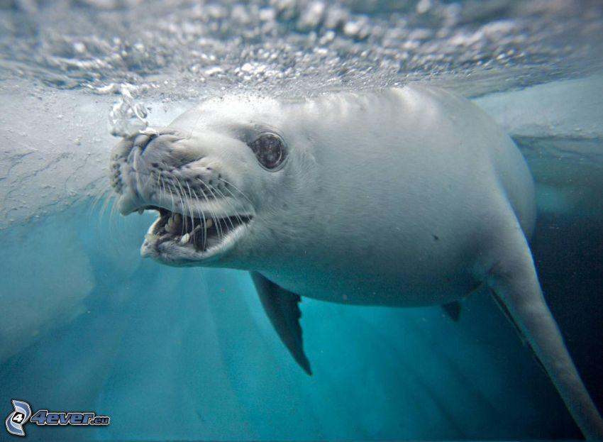 tuleň, voda