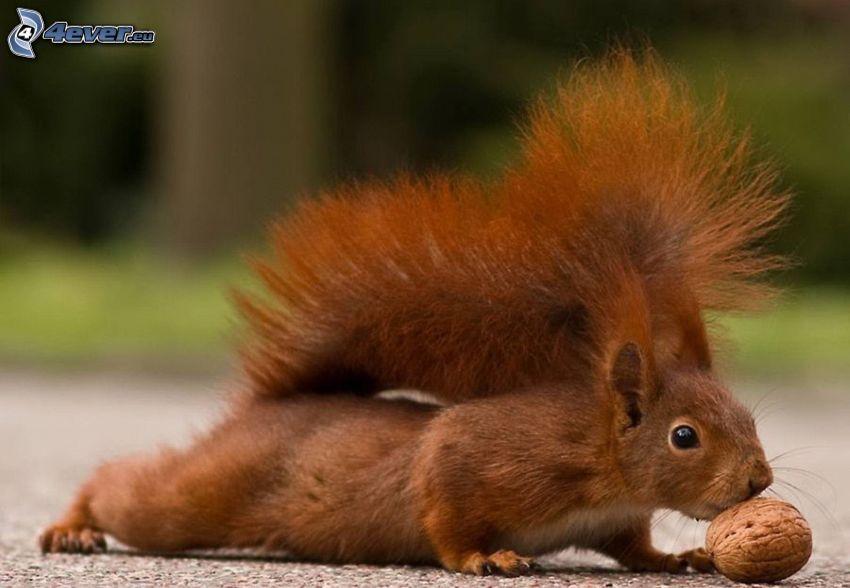 veverička, orech