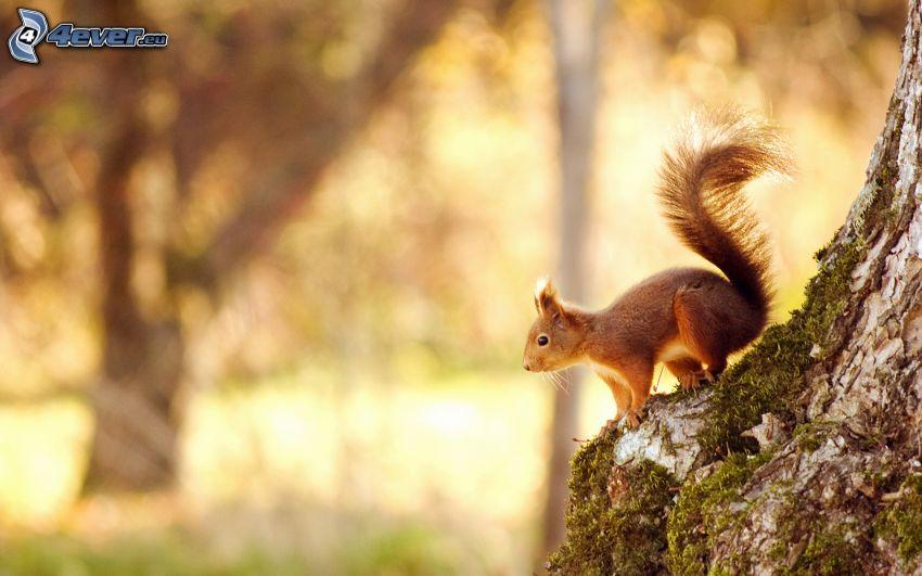 veverička, strom