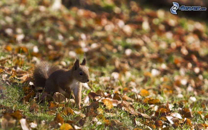 veverička, suché listy