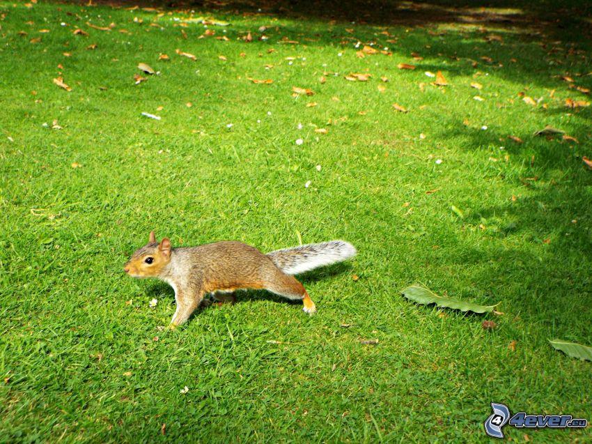 veverička, trávnik