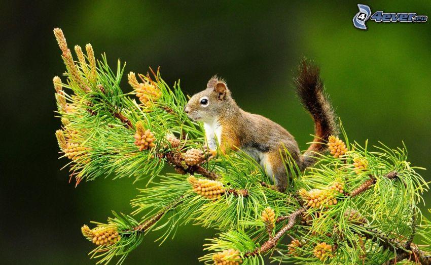 veverička na strome, konár, borovica
