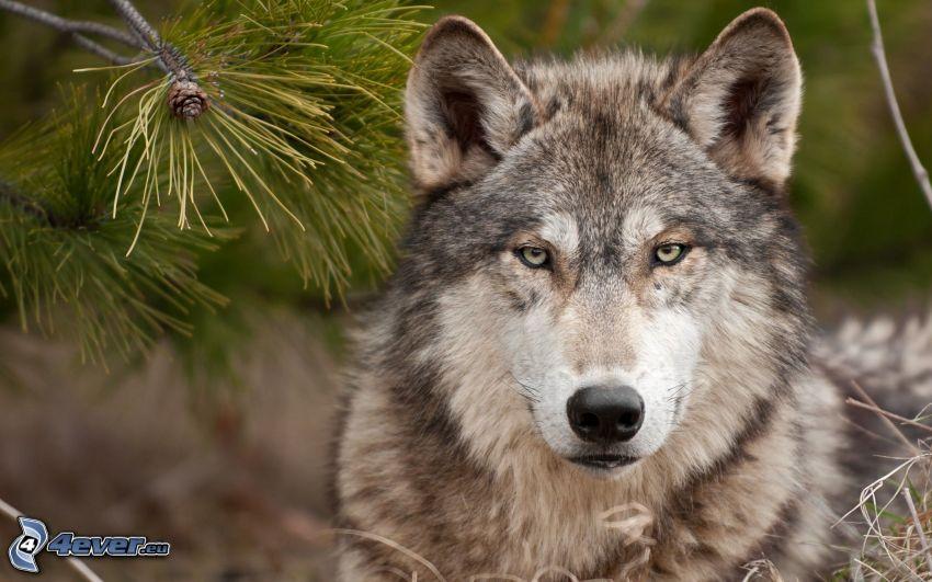 vlk, borovica