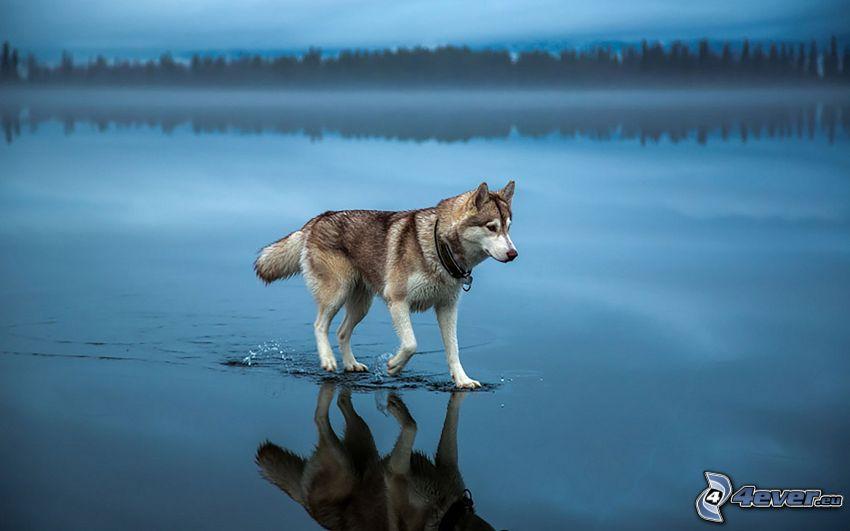 vlk, vodná hladina, odraz