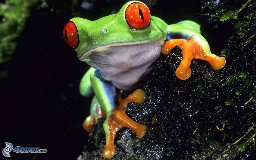 žaba, kameň