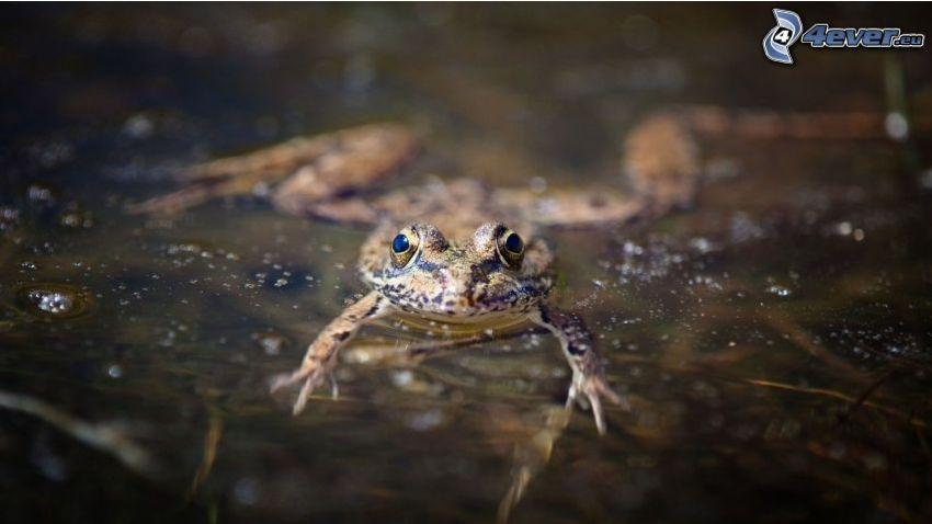 žaba, voda