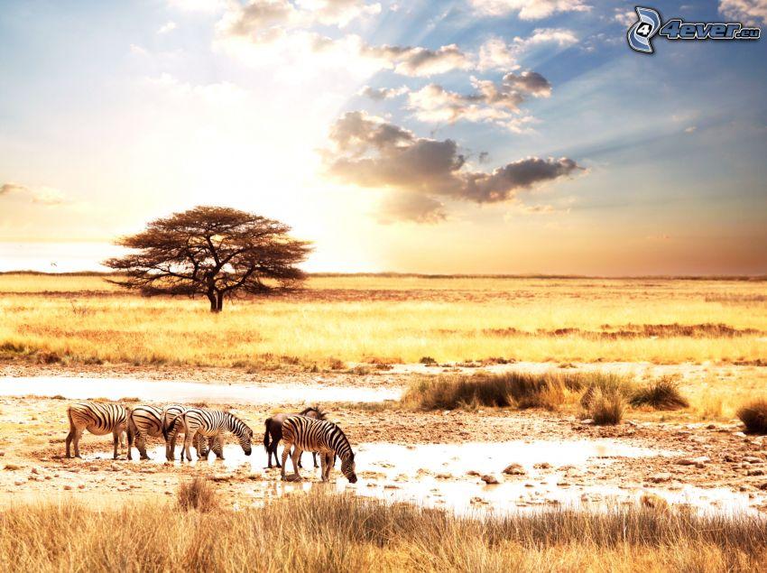 západ slnka na savane, zebry, stepy, osamelý strom, slnko