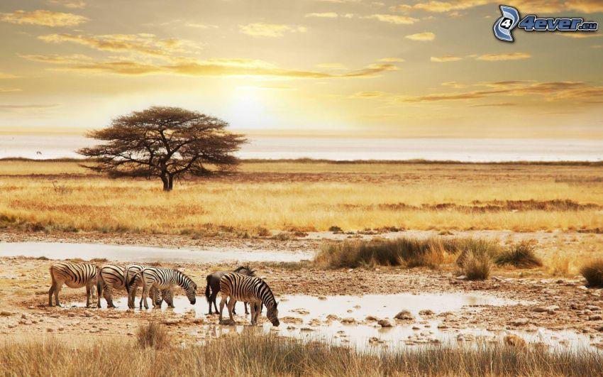 zebry, safari, suchá tráva