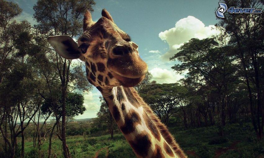 žirafa, pohľad