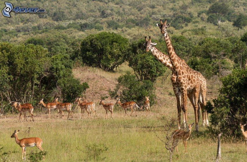 žirafy, antilopy