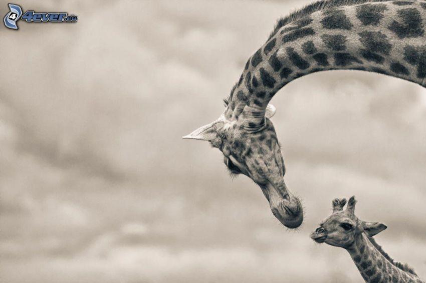 žirafy, mláďa žirafy, čiernobiela fotka