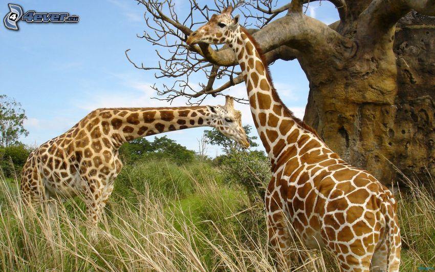 žirafy, mohutný strom, vysoká tráva, suchá tráva