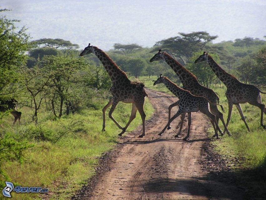 žirafy, savana