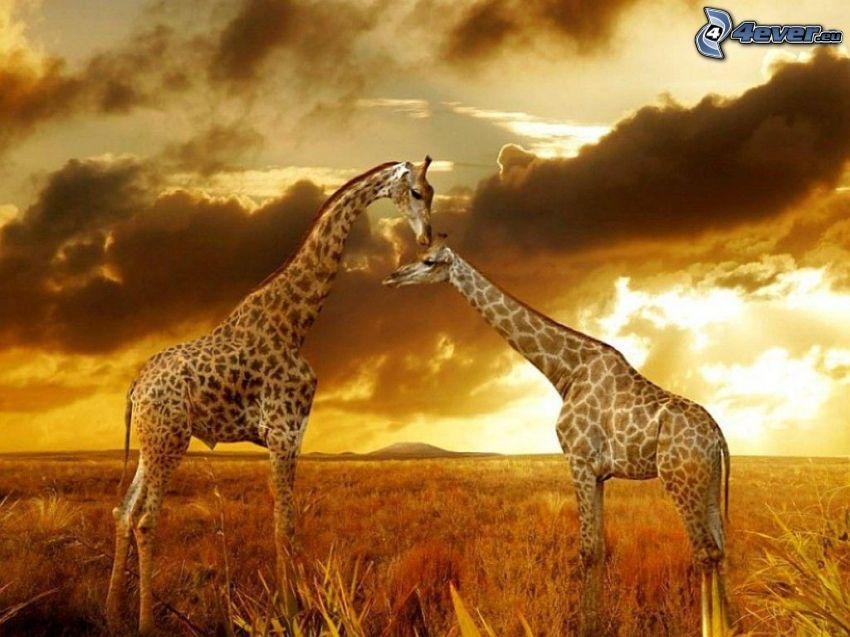 žirafy, suchá tráva, tmavé oblaky, žltá obloha